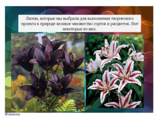 Лилии, которые мы выбрали для выполнения творческого проекта в природе велико