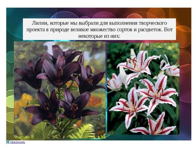 Лилии, которые мы выбрали для выполнения творческого проекта в природе велико...