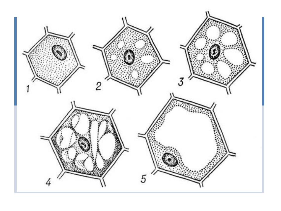 Как называется полужидкая среда клетки, в которой расположено ядро? Вакуоль Л...