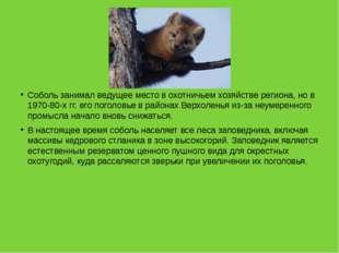 Соболь занимал ведущее место в охотничьем хозяйстве региона, но в 1970-80-х
