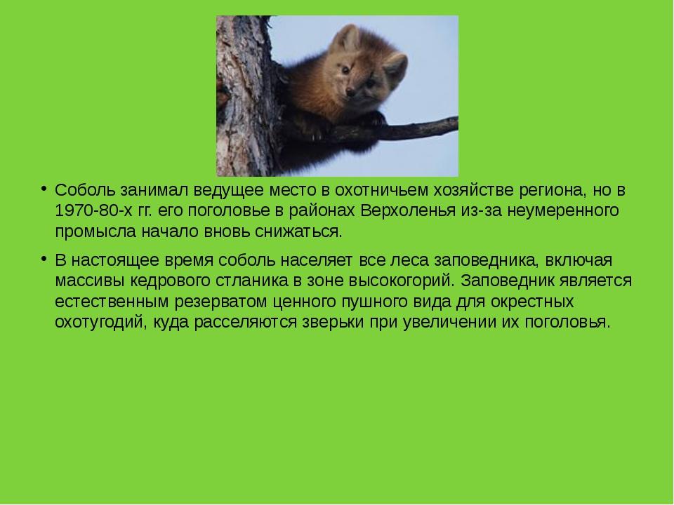 Соболь занимал ведущее место в охотничьем хозяйстве региона, но в 1970-80-х...