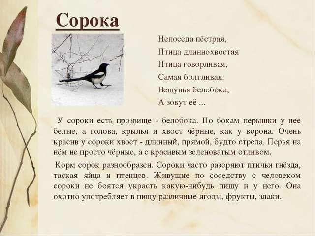 Сорока Непоседа пёстрая, Птица длиннохвостая Птица говорливая, Самая болтлива...