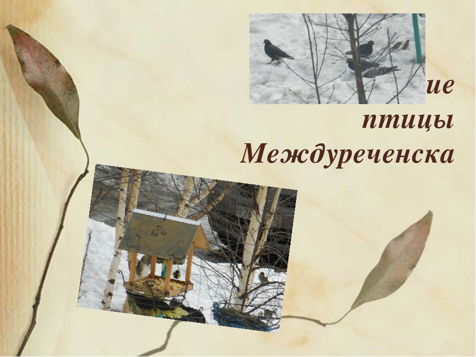 Зимующие птицы Междуреченска