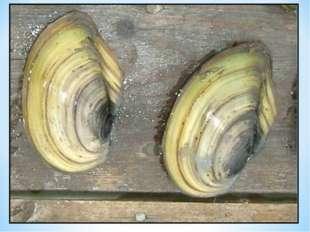 Один моллюск может очисть за сутки 200 л воды. Сколько воды очистит моллюск з