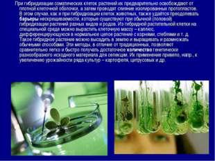 При гибридизации соматических клеток растений их предварительно освобождают