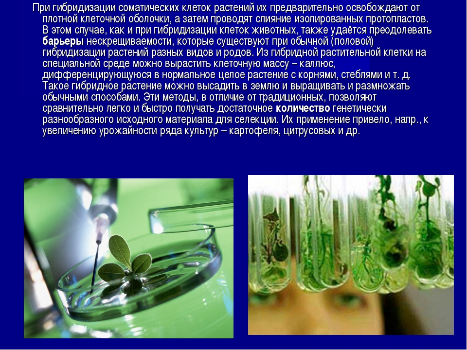 При гибридизации соматических клеток растений их предварительно освобождают...