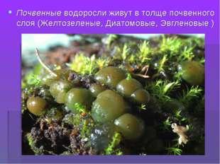 Почвенные водоросли живут в толще почвенного слоя (Желтозеленые, Диатомовые,