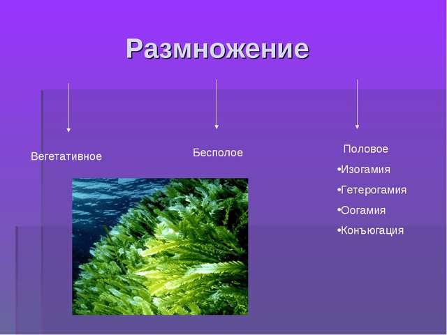 Размножение Вегетативное Бесполое Половое Изогамия Гетерогамия Оогамия Конъю...