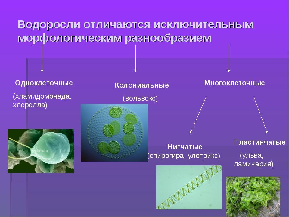 Водоросли отличаются исключительным морфологическим разнообразием Одноклеточн...