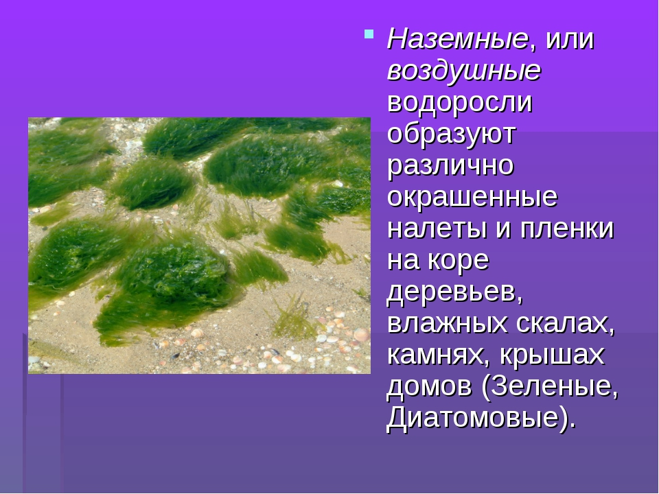 Наземные, или воздушные водоросли образуют различно окрашенные налеты и пленк...