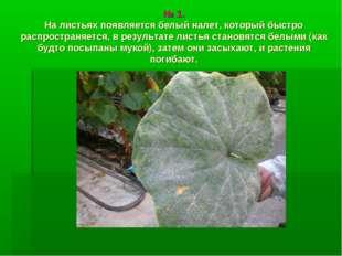 № 1. На листьях появляется белый налет, который быстро распространяется, в р