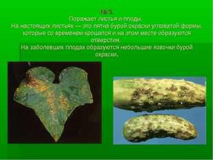 № 3. Поражает листья и плоды. На настоящих листьях — это пятна бурой окраски
