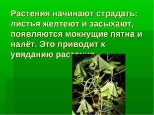 Растения начинают страдать: листья желтеют и засыхают, появляются мокнущие пя