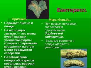 Бактериоз. Признаки. Поражает листья и плоды. На настоящих листьях — это пятн