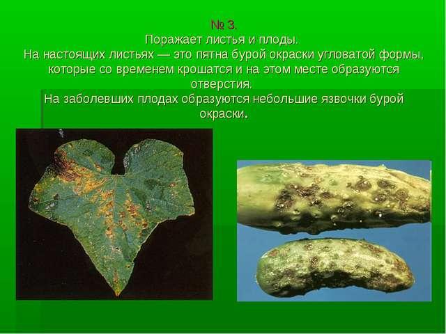№ 3. Поражает листья и плоды. На настоящих листьях — это пятна бурой окраски...