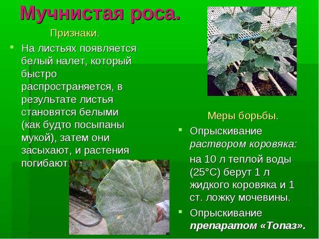 Мучнистая роса. Признаки. На листьях появляется белый налет, который быстро...