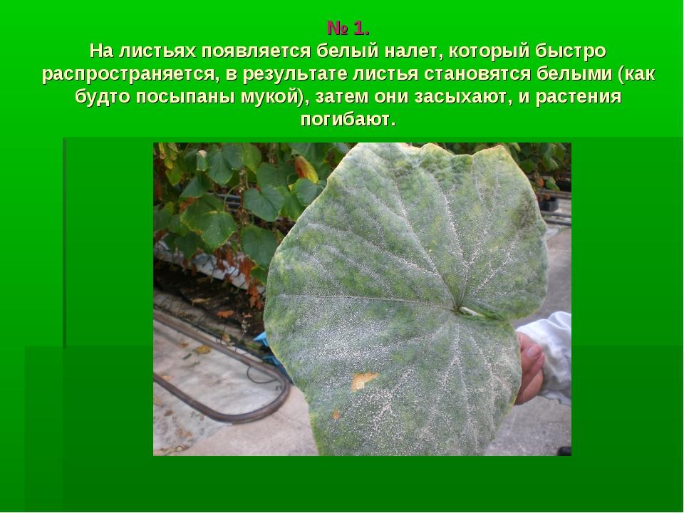 № 1. На листьях появляется белый налет, который быстро распространяется, в р...