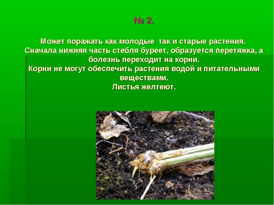 № 2. Может поражать как молодые так и старые растения. Сначала нижняя часть с...