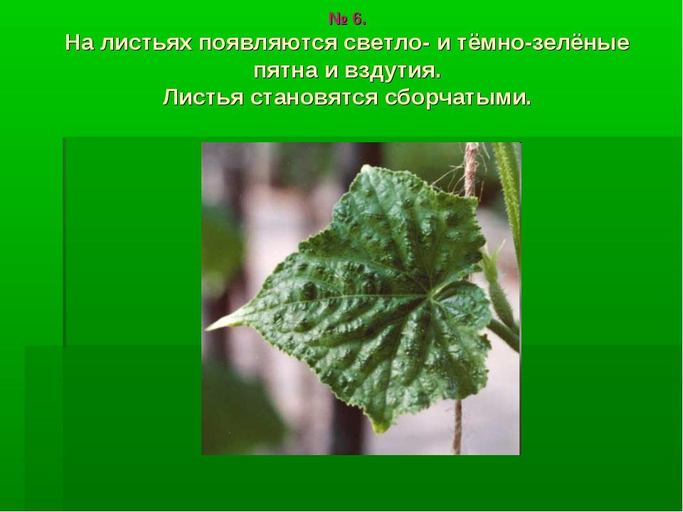 № 6. На листьях появляются светло- и тёмно-зелёные пятна и вздутия. Листья ст...