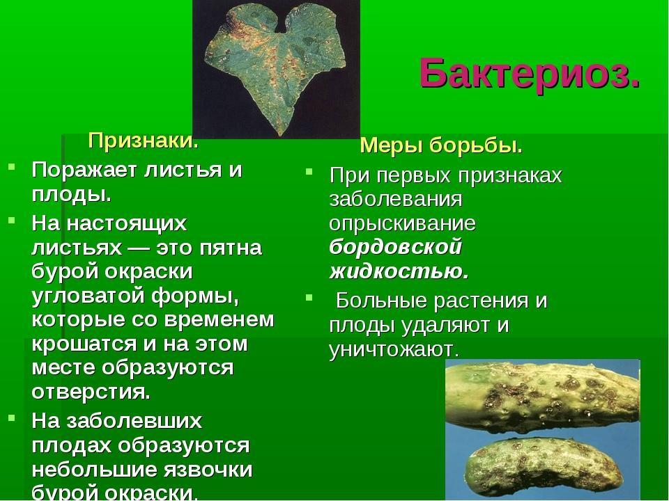 Бактериоз. Признаки. Поражает листья и плоды. На настоящих листьях — это пятн...