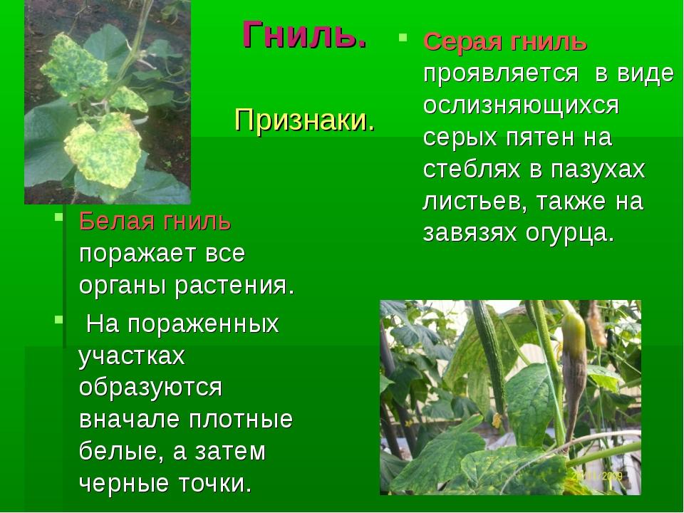 Гниль. Признаки. Белая гниль поражает все органы растения. На пораженных учас...