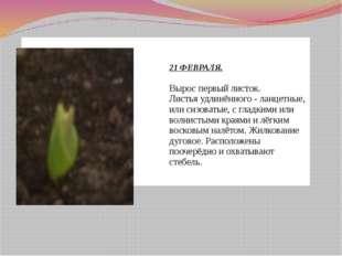 21 ФЕВРАЛЯ. Вырос первый листок. Листья удлинённого - ланцетные, или сизоват