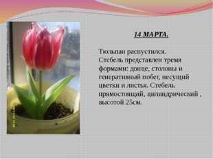 14 МАРТА. Тюльпан распустился. Стебель представлен тремя формами: донце, стол