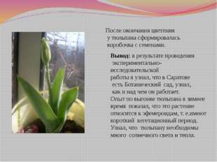 После окончания цветения у тюльпана сформировалась коробочка с семенами. Выво