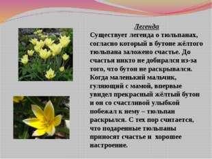 Легенда Существует легенда о тюльпанах, согласно который в бутоне жёлтого тюл