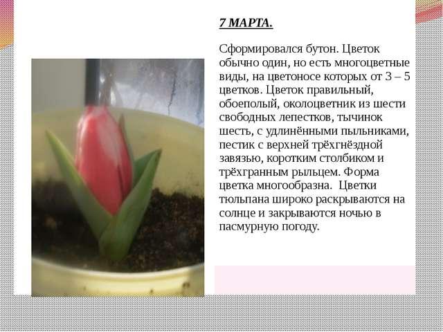 7 МАРТА. Сформировался бутон. Цветок обычно один, но есть многоцветные виды,...