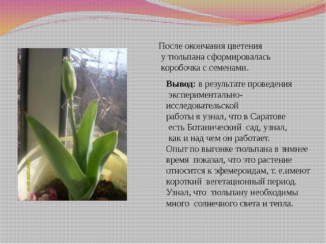 После окончания цветения у тюльпана сформировалась коробочка с семенами. Выво...