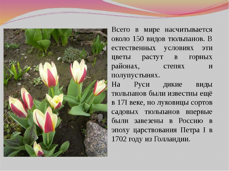 Всего в мире насчитывается около 150 видов тюльпанов. В естественных условиях...