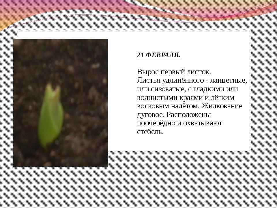 21 ФЕВРАЛЯ. Вырос первый листок. Листья удлинённого - ланцетные, или сизоват...