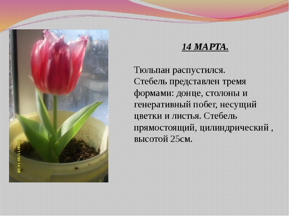 14 МАРТА. Тюльпан распустился. Стебель представлен тремя формами: донце, стол...
