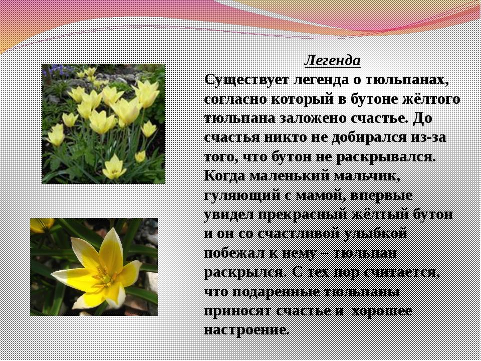 Легенда Существует легенда о тюльпанах, согласно который в бутоне жёлтого тюл...