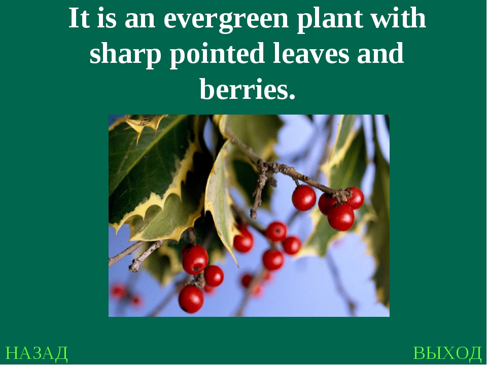 НАЗАД ВЫХОД It is an evergreen plant with sharp pointed leaves and berries.
