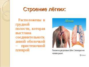 Строение лёгких: Расположены в грудной полости, которая выстлана соединительн