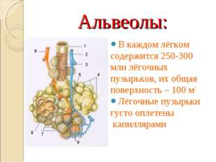 Альвеолы: В каждом лёгком содержится 250-300 млн лёгочных пузырьков, их общая