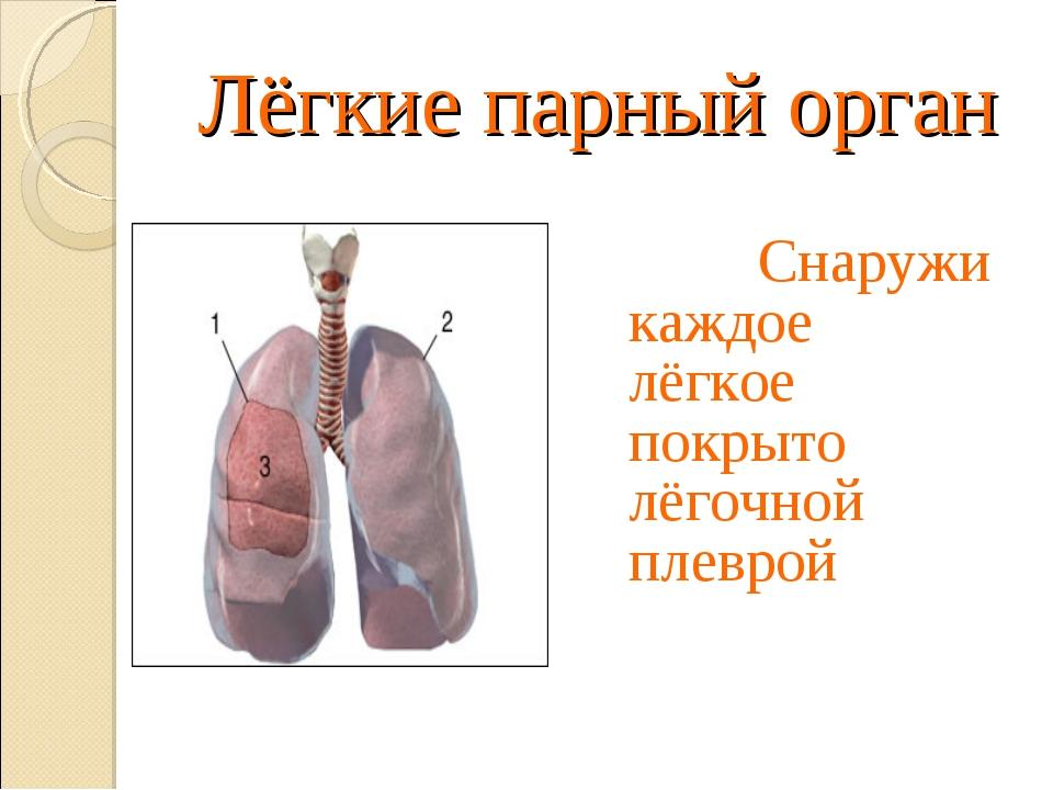 Лёгкие парный орган Снаружи каждое лёгкое покрыто лёгочной плеврой