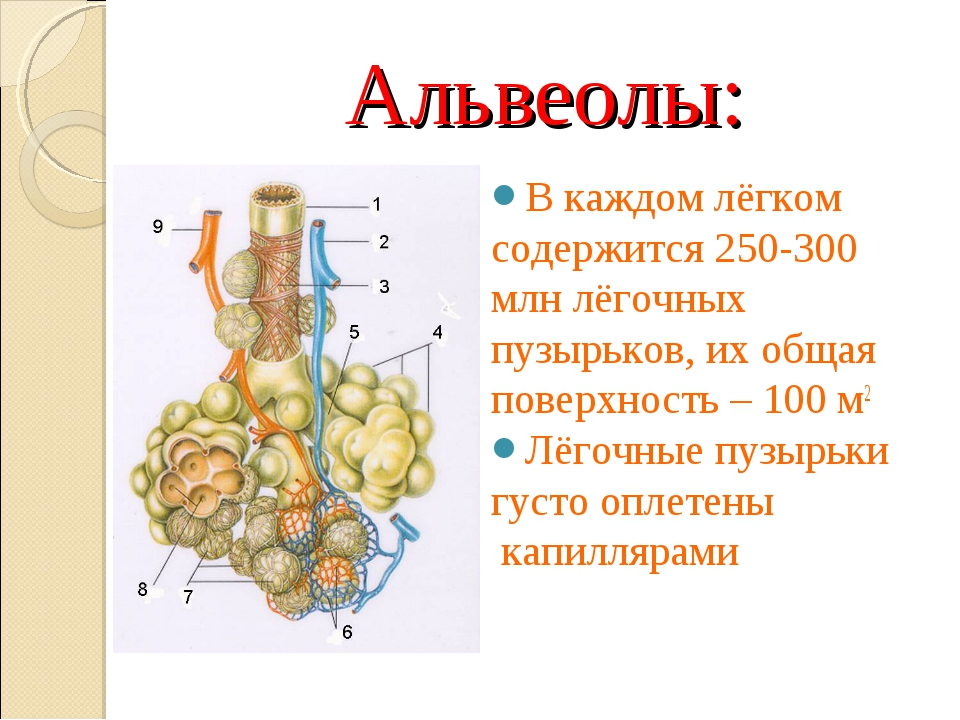 Альвеолы: В каждом лёгком содержится 250-300 млн лёгочных пузырьков, их общая...