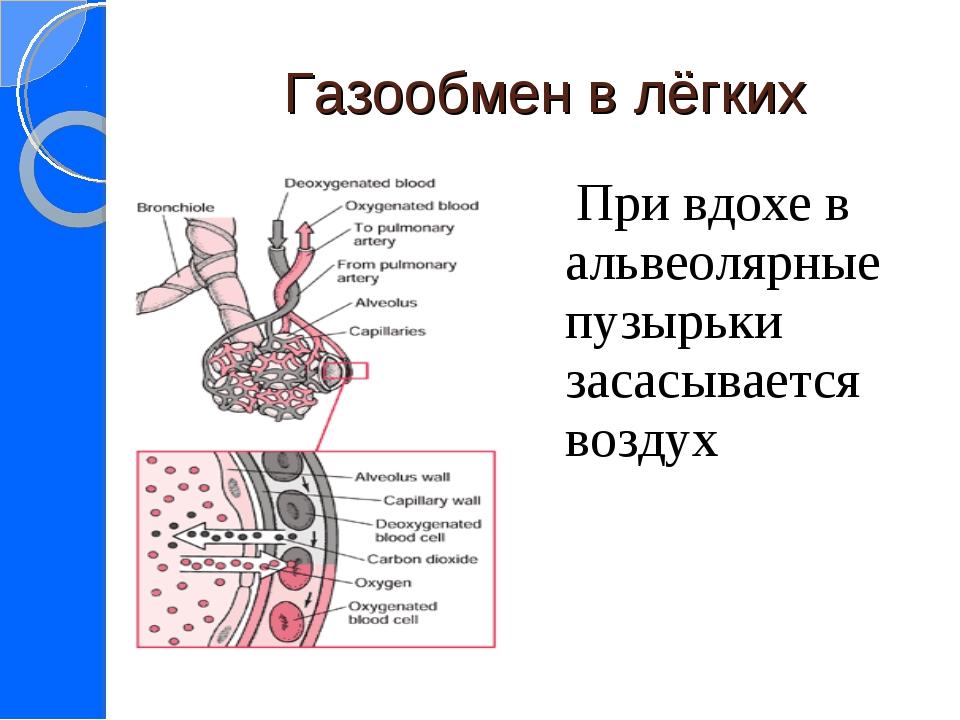 Газообмен в лёгких При вдохе в альвеолярные пузырьки засасывается воздух