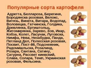 Популярные сорта картофеля Адретта, Беллароза, Берегиня, Бородянска розовая,