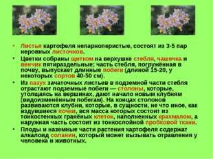 Листья картофеля непарноперистые, состоят из 3-5 пар неровных листочков. Цвет