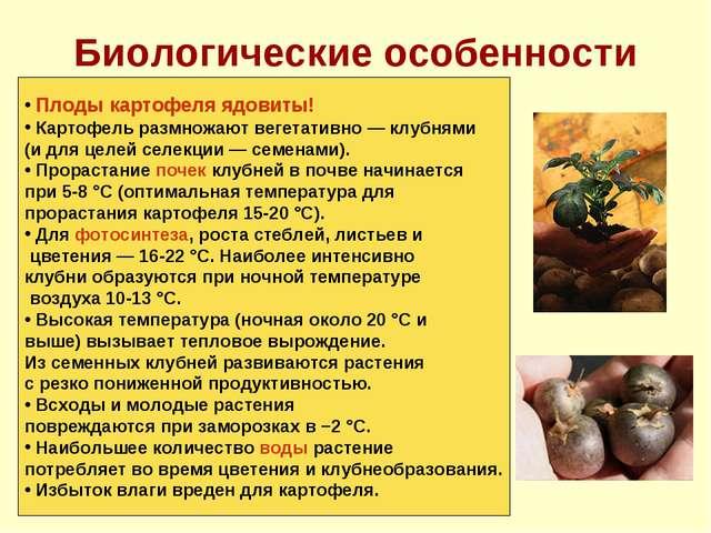 Биологические особенности Плоды картофеля ядовиты! Картофель размножают вегет...