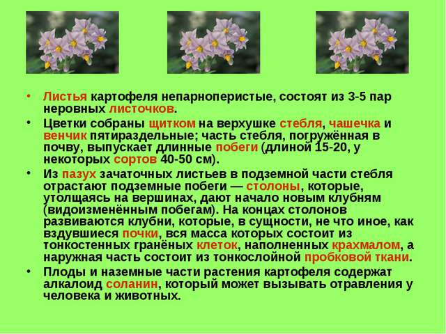 Листья картофеля непарноперистые, состоят из 3-5 пар неровных листочков. Цвет...