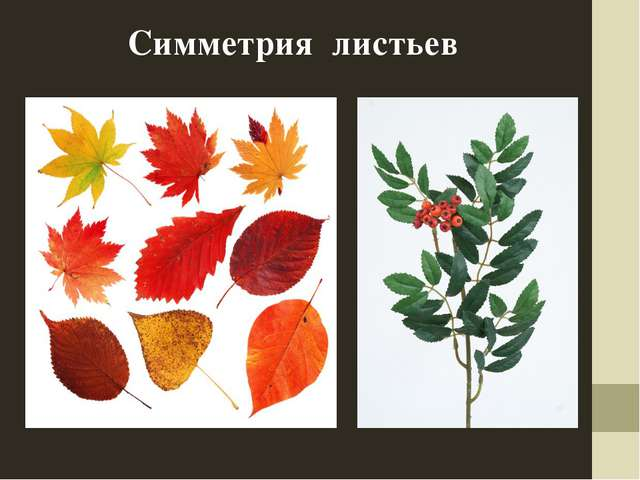 Симметрия листьев