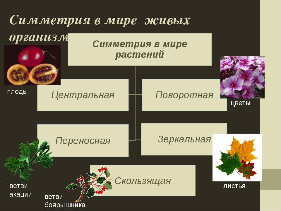 Симметрия в мире живых организмов Скользящая цветы листья плоды ветви акации...