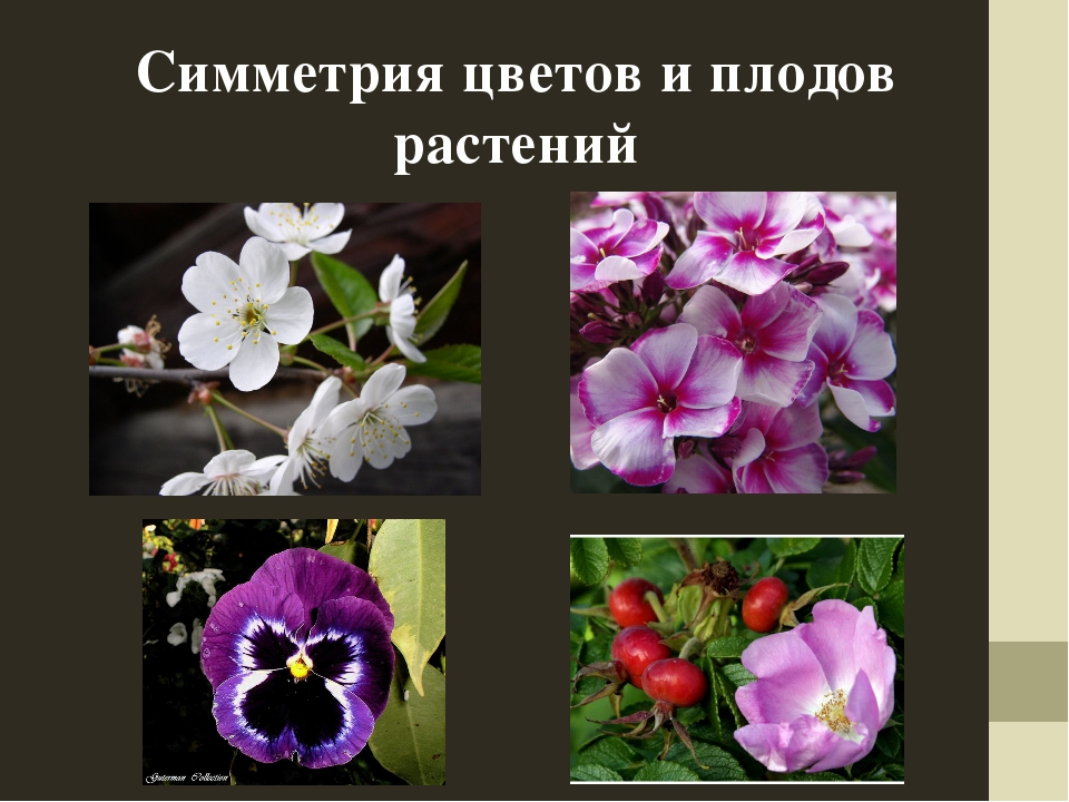 Симметрия цветов и плодов растений