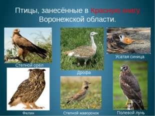 Птицы, занесённые в Красную книгу Воронежской области. Полевой лунь Усатая си