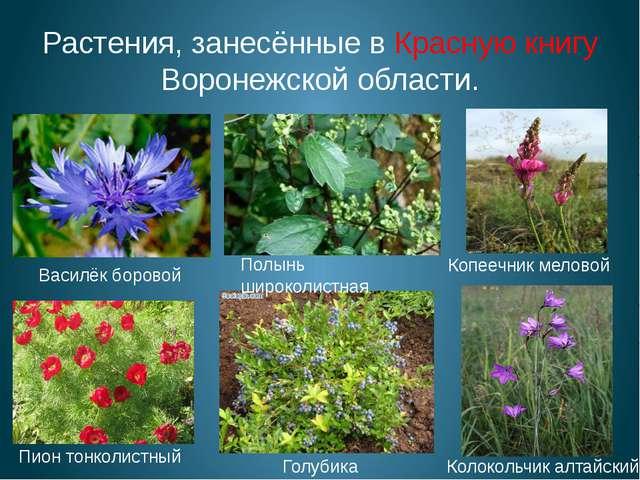 Растения, занесённые в Красную книгу Воронежской области. Пион тонколистный К...
